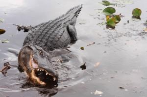 Die Everglades sind die einzige Region der Welt, in der sowohl Alligatoren als auch Krokodile leben.