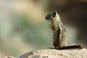 Das Arizona Roundtail Ground Squirrel ist ein Rundschwanzerdhörnchen.
