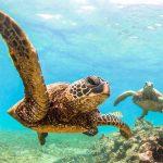 Suppenschildkröten kommen vor allem auf den nordwestliche Hawaii-Inseln vor.