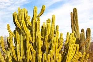 Das Organ Pipe Cactus National Monument ist ein als National Monument ausgezeichnetes Schutzgebiet im südlichen Teil Arizonas.