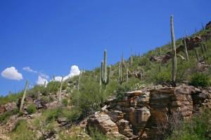 Mehr als 1000 Pflanzenarten beherbergt der Saguaro Nationalpark. Die berühmteste davon ist der Kandelaberkaktus (engl. Saguaro).