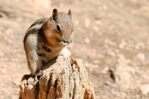 Viele Tiere zieren die Landschaften des Bryce Canyon Nationalparks.