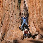 Die beeindruckenden Riesenmammutbäume können einen Durchmesser von über 11 Metern erreichen.