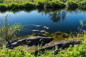 Mehrere Alligatoren genießen die Sonne im Everglades-Nationalpark in Florida.